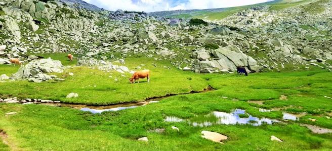 Едно от малките спанополски езера, река между езерата, алпийски крави, зелени поляни, скали.